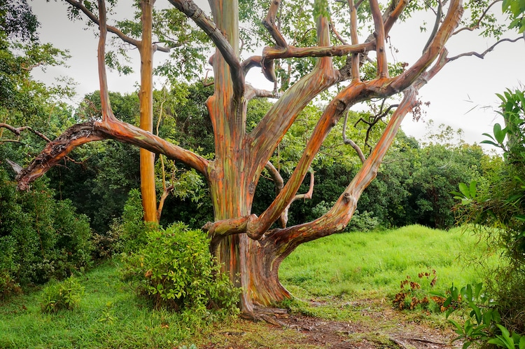 Rainbow Gum Tree