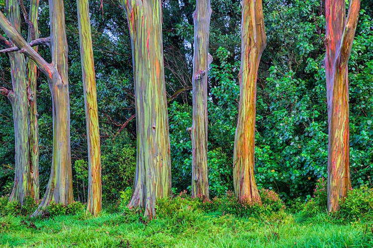 Learn How The Rainbow Eucalyptus Gets Its Colorful Appearance
