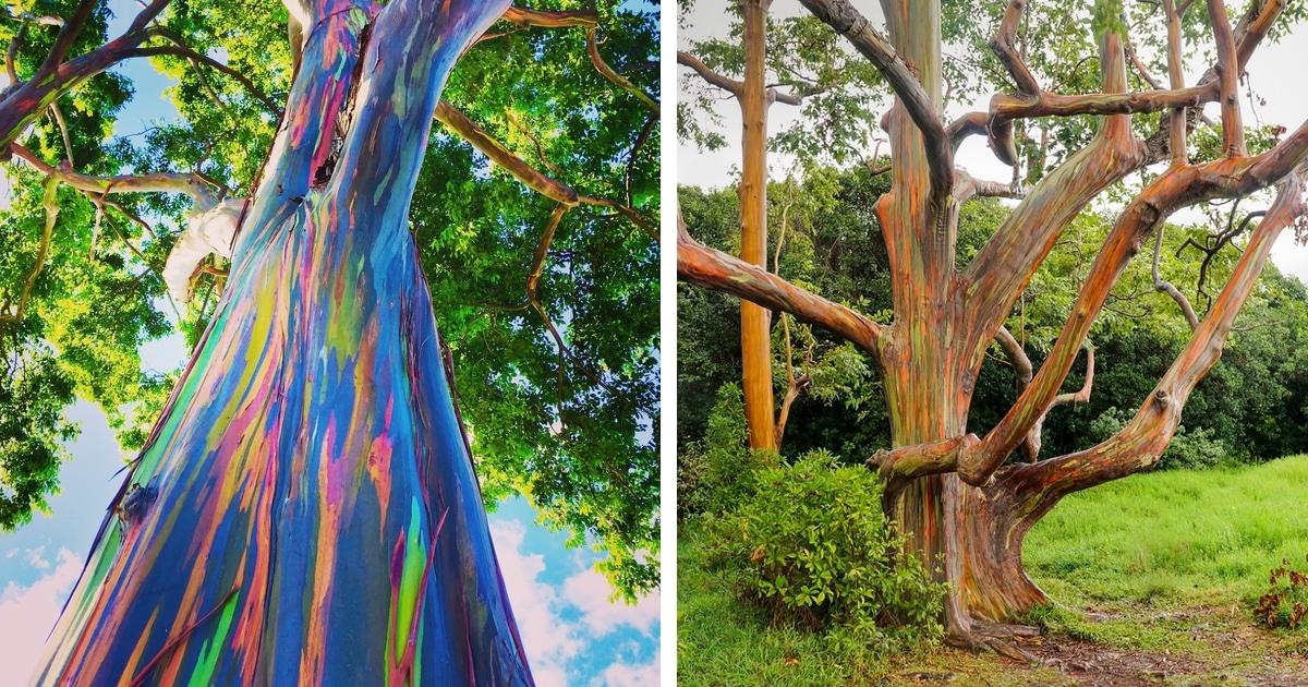 Learn How The Rainbow Eucalyptus Gets Its Colorful Appearance
