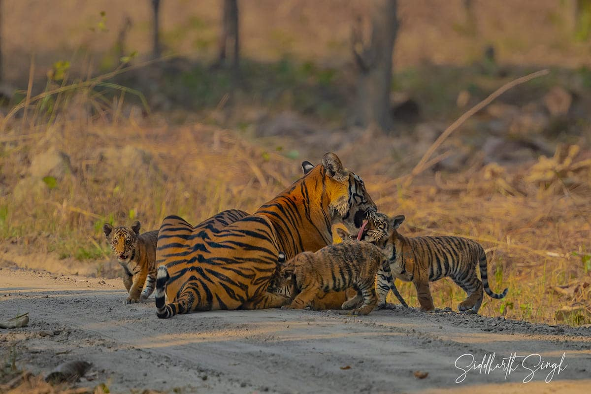 Tigress and Cubs by Siddarth Singh