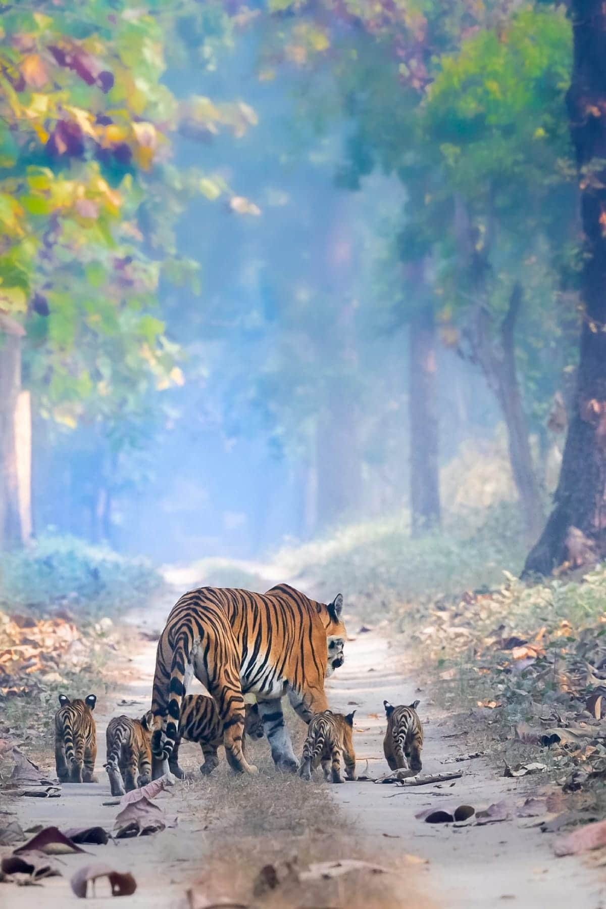 Tigress and Cubs in India at Dudhwa National Park