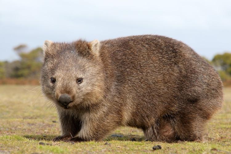 Wombat Australia Bushfires