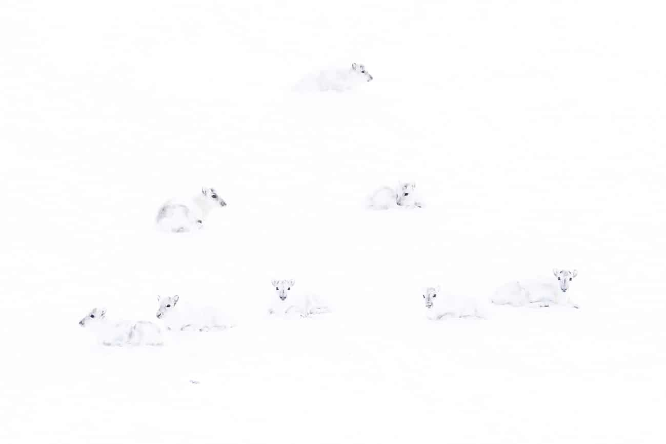 Reindeer Blending Into the Snow