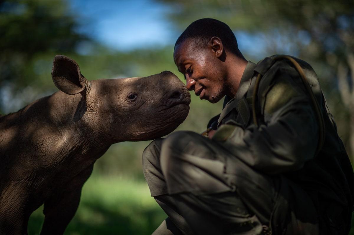 Rhino Nuzzling Its Caretaker