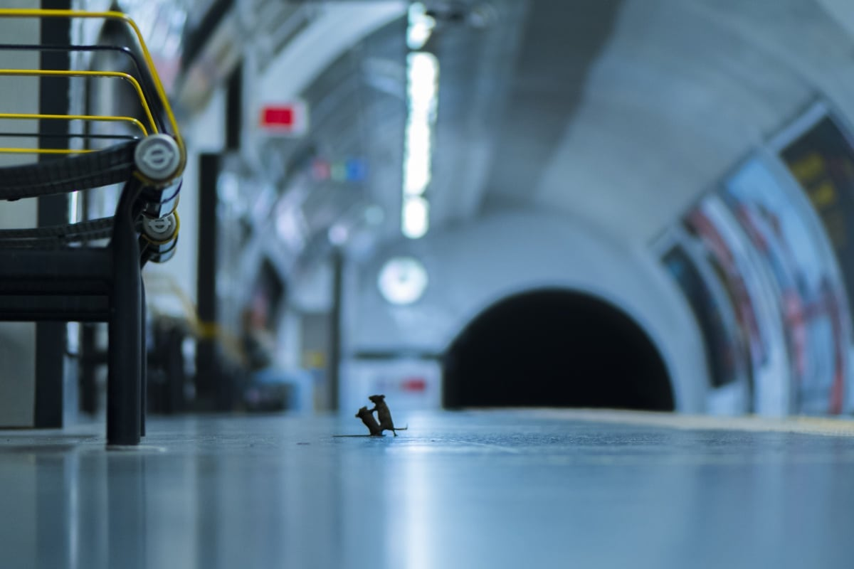 Two Mice Fighting in a Subway Station
