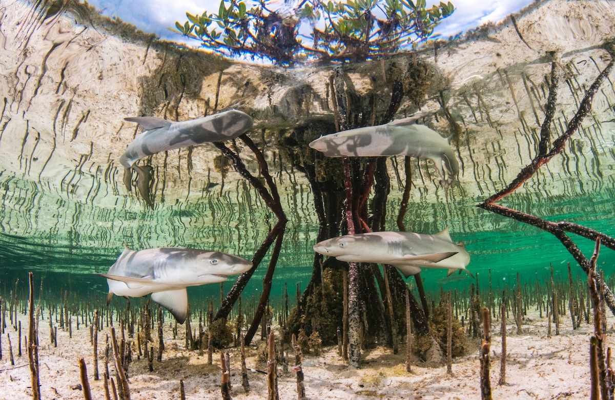 Lemon Shark Nursery in the Bahamas