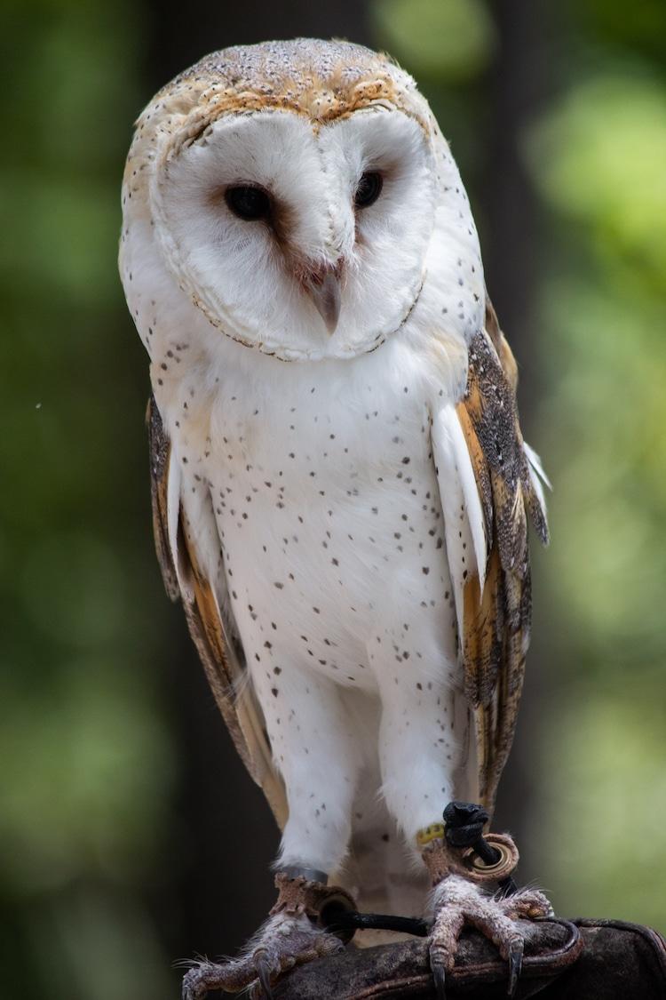 Close Up of Barn Owl