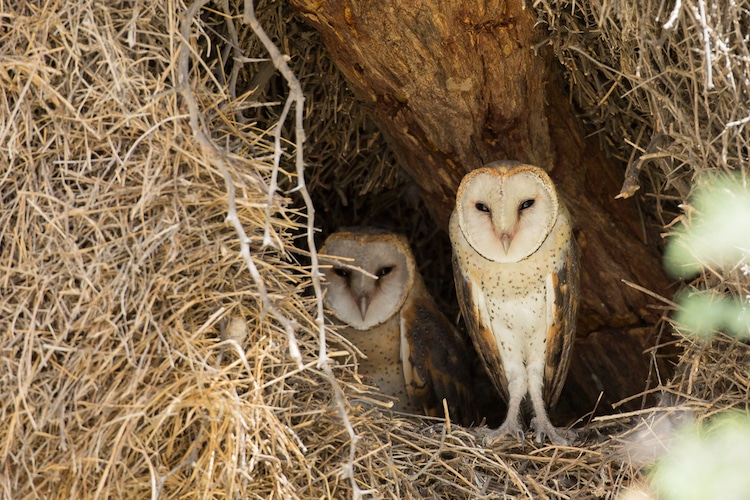 Pair of Barn Owls in a Nest