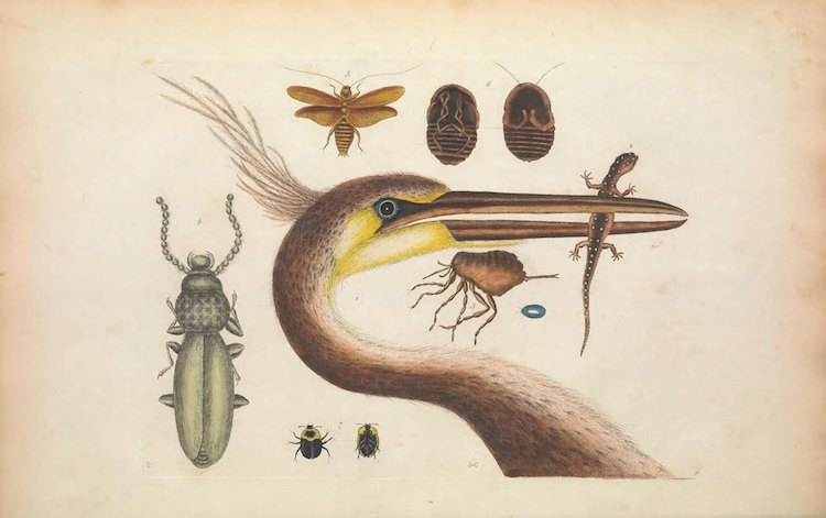 Biodiversity Heritage Library Archive Illustration