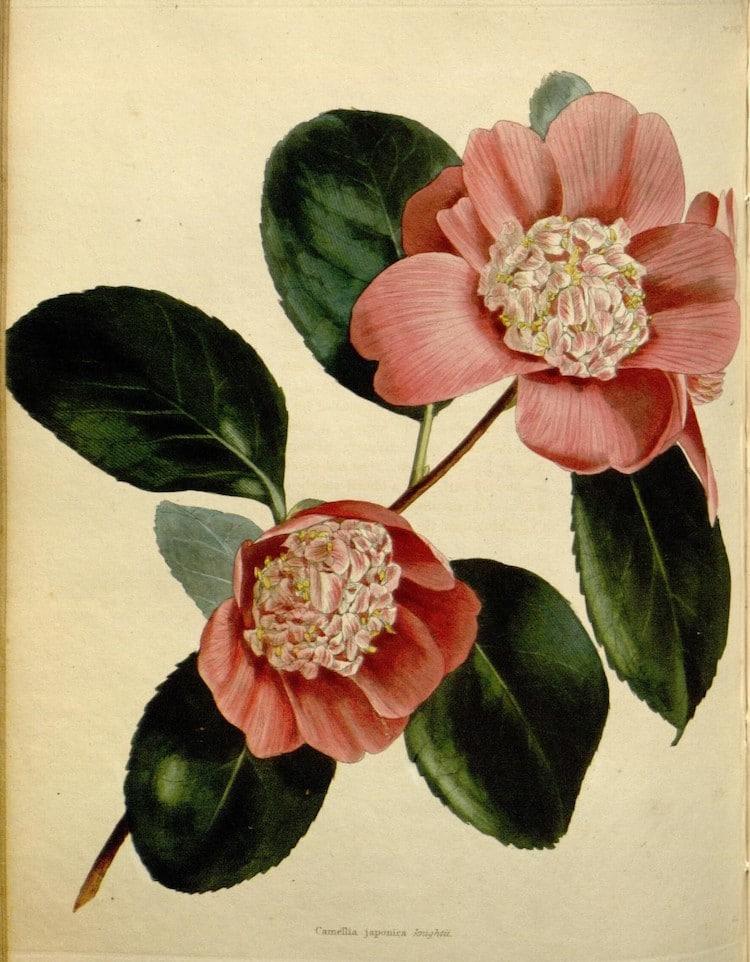 Ilustración científica botánica del siglo XIX