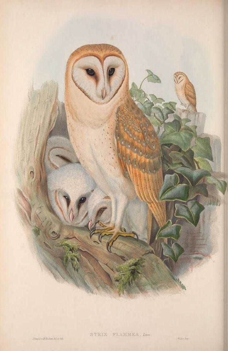 Ilustración de aves británicas