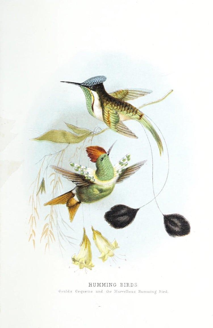 Ilustración de colibrí del siglo XIX