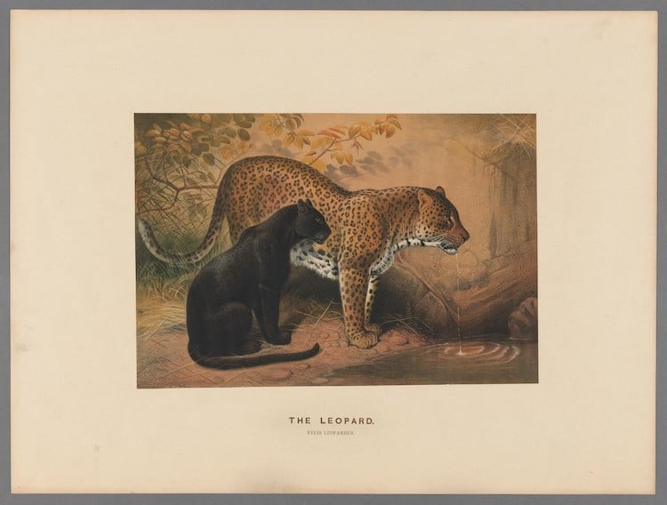 19th Century Drawing of a Leopard