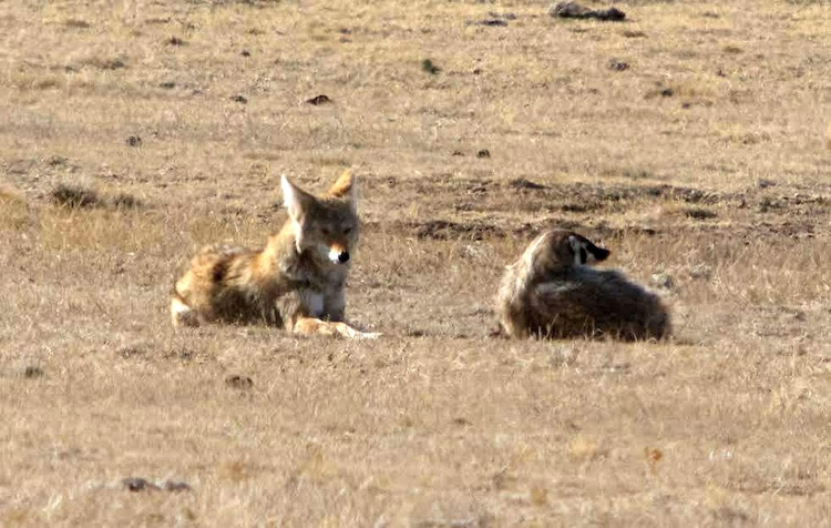 Coyote and Badger Hunting Together