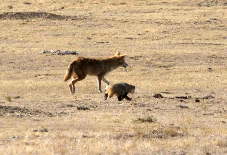 Mutualism with Coyote and Badger