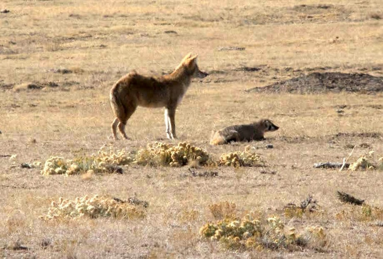 Coyote and Badger Friendship