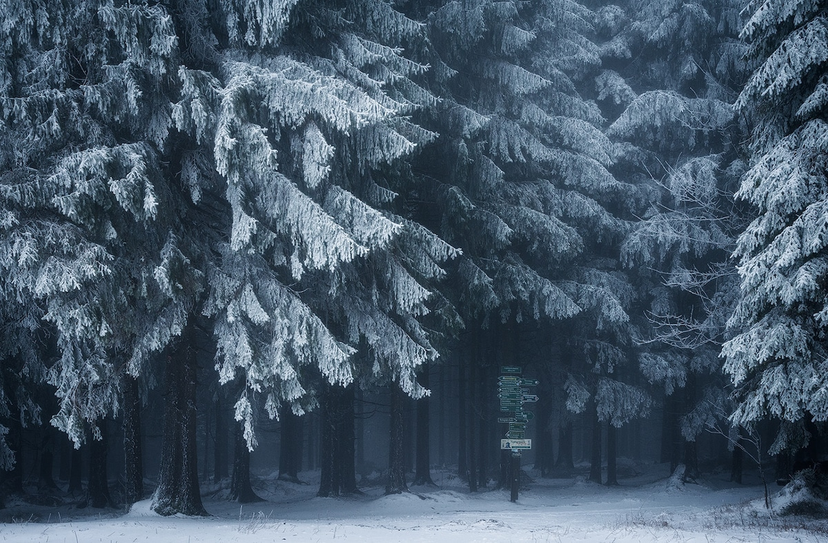 Snow Covered Evergreen Trees