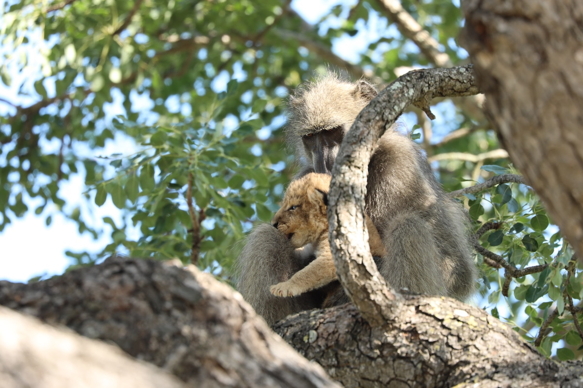 Baboon Holding a Lion Cub