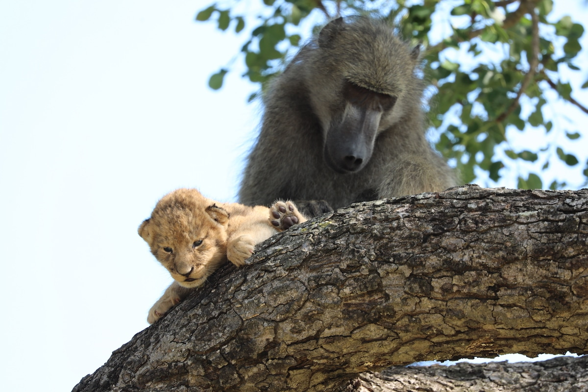Baboon Grooming a Lion Cub