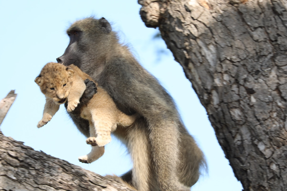 Baboon Carrying a Lion Cub