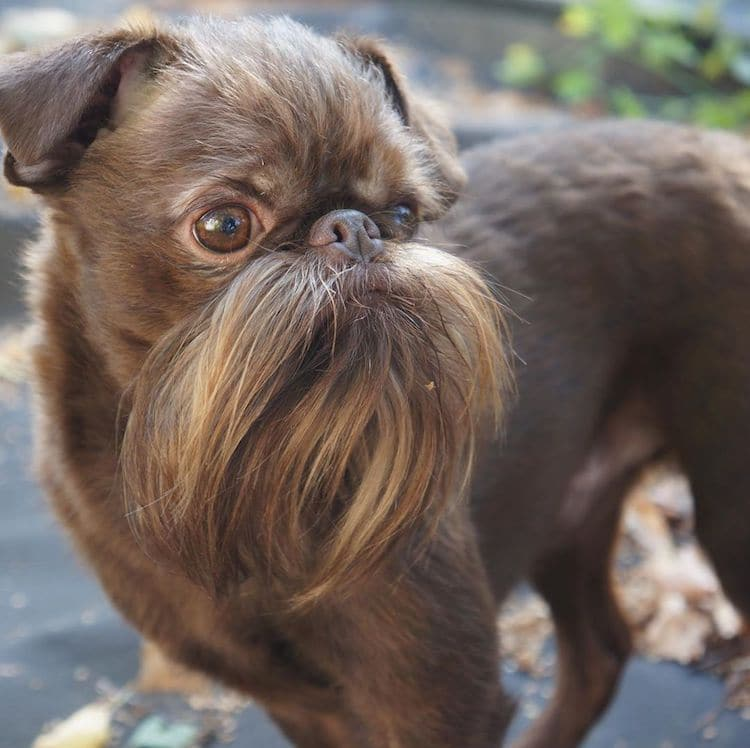 Nuts the Bearded Dog aka Chewbacca