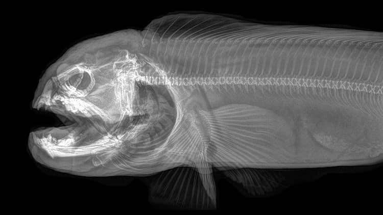 Wolf Eel X Ray