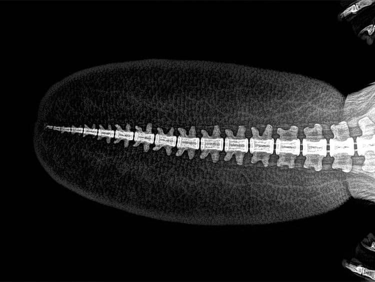 Radiografía de la cola de un castor