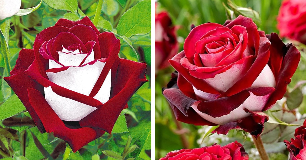 The Red And White Osiria Rose Has Taken The Internet By Storm