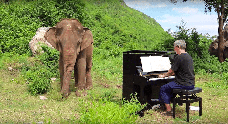 Blind Elephant Listening to the Classical Piano