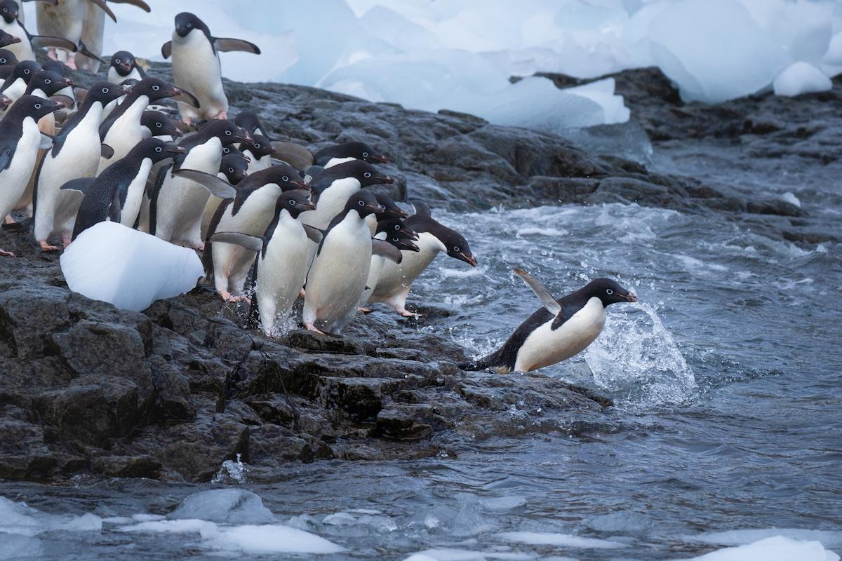 Pingouins plongeant dans l'eau