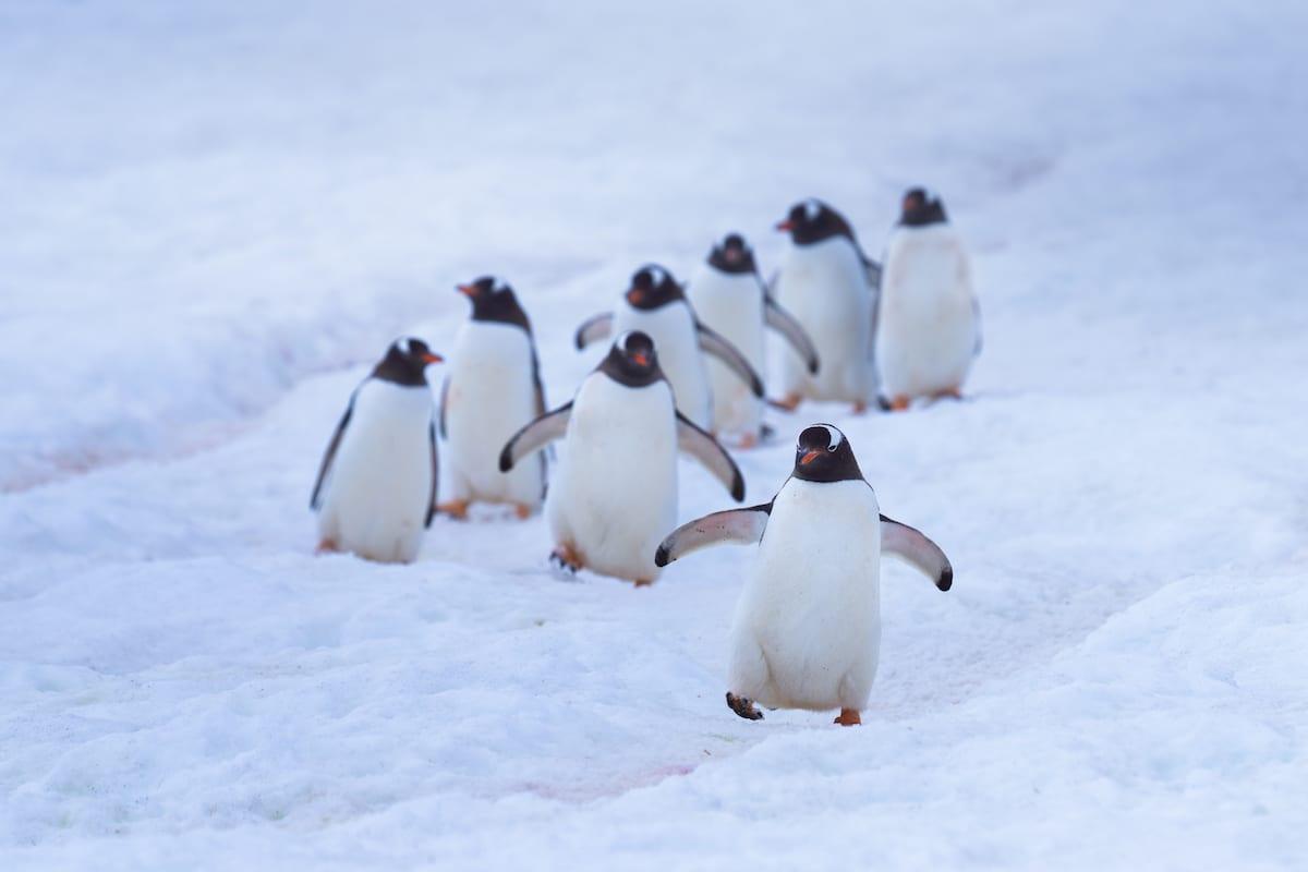 Ligne de pingouins marchant