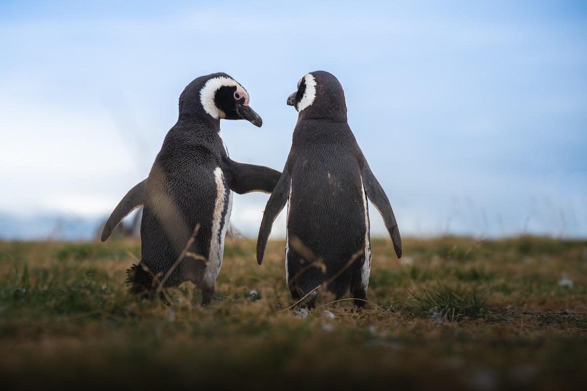 Penguin Behavior