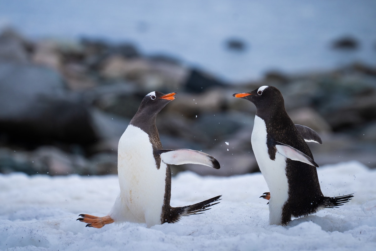 Two Penguins Chasing Each Other in Antactica