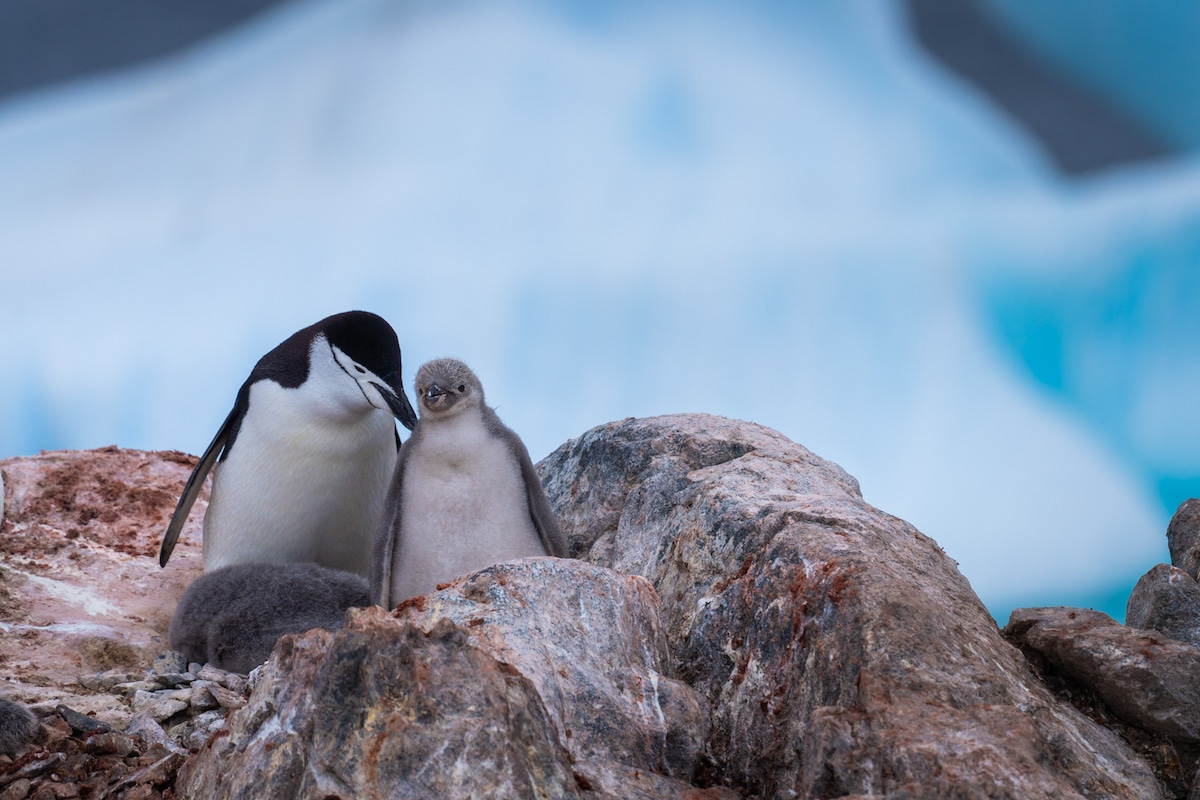 Pingouin et poussin en Antarctique