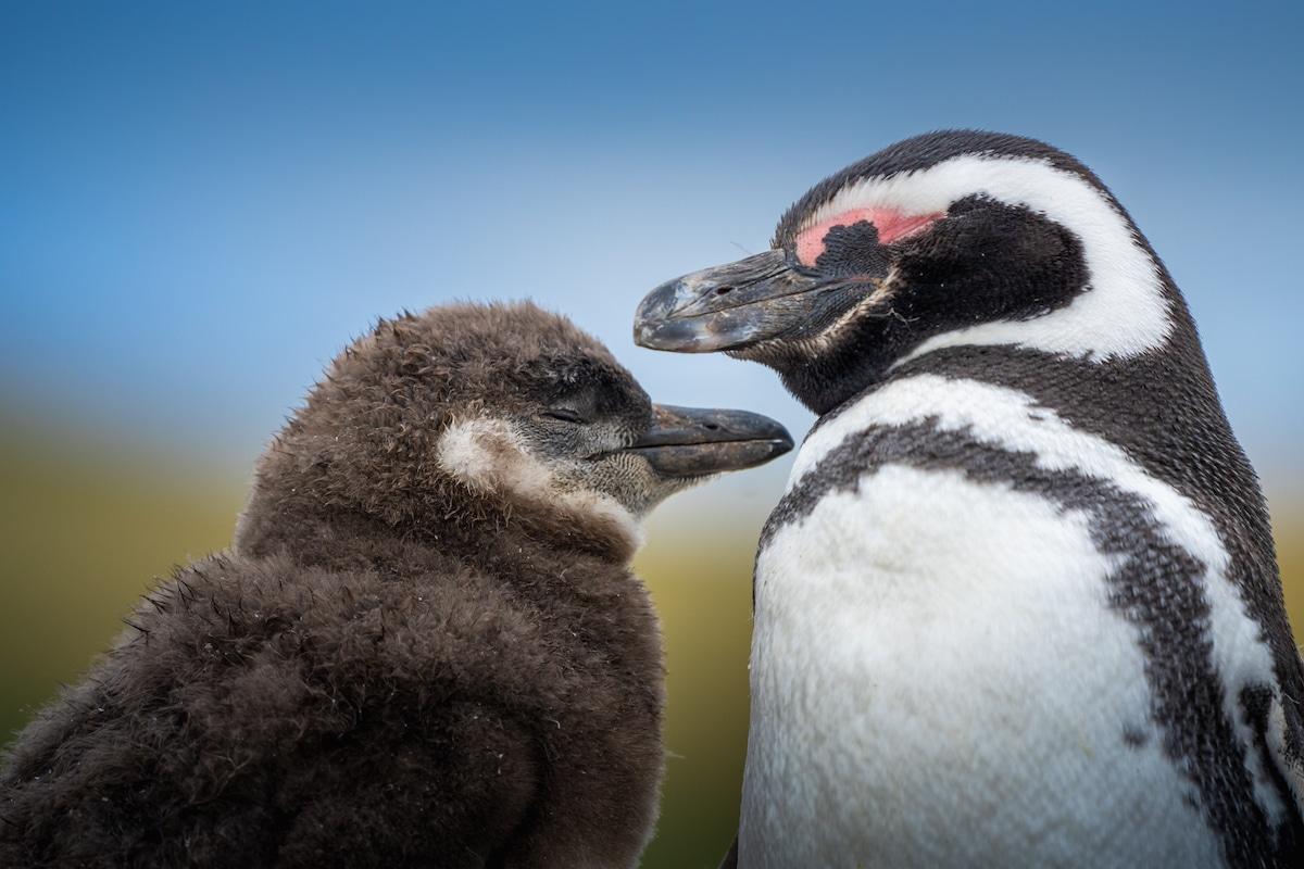 Pingouins en Antarctique par Albert Dros