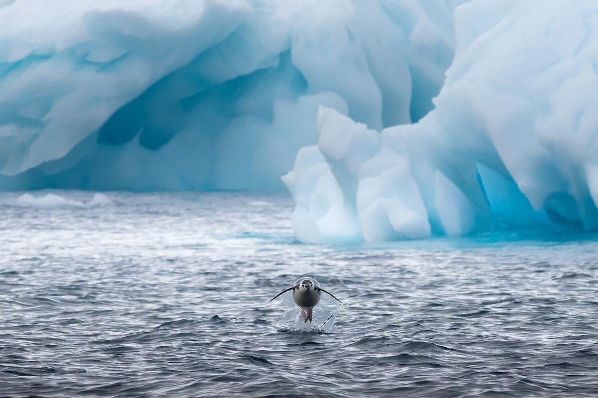 Pingouin nageant en Antarctique