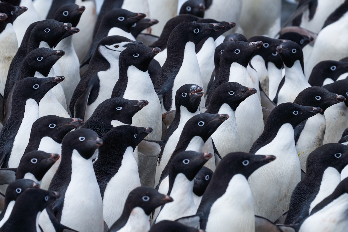 Groupe de pingouins en Antarctique