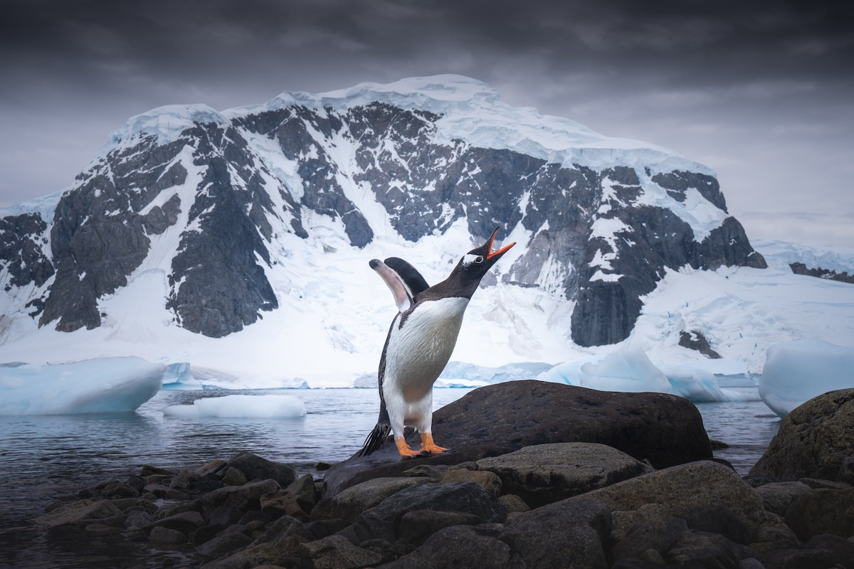 Pingouin criant au milieu de l'Antarctique