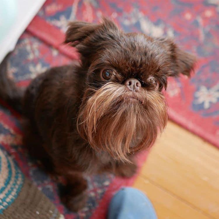 Petite Belgian Griffon Hipster Dog