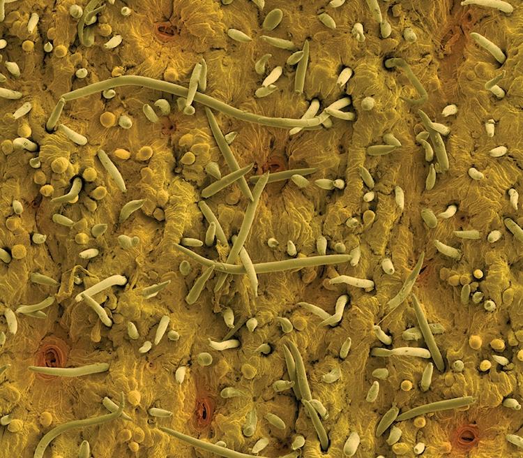 Rob Kessler micrografias de plantas