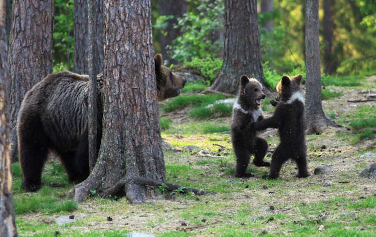 Fotos de osos bailarines en Finlandia