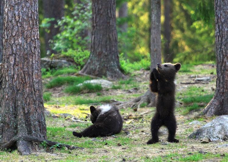 BFotos de osos bailarines en Finlandia