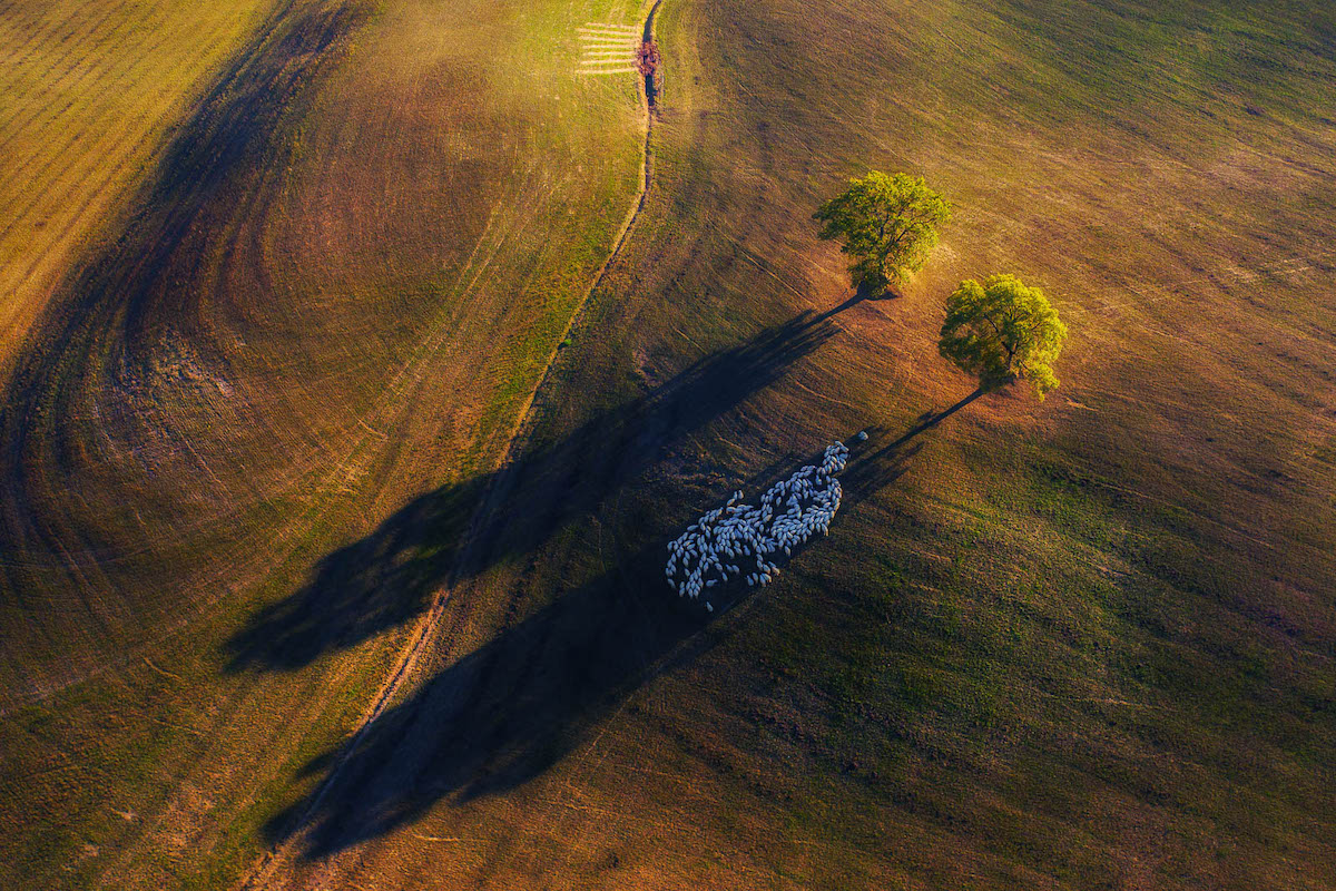 Aerial Photo of Tuscany with a Flock of Sheep