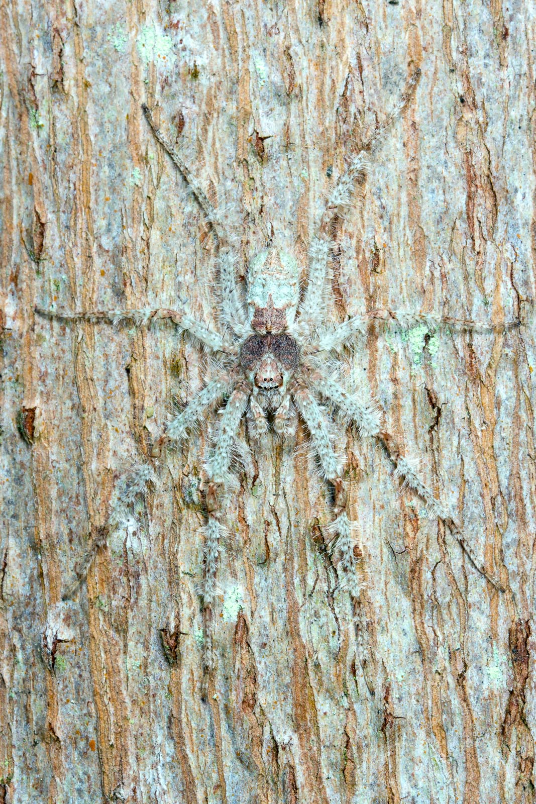 Tree Dwelling Spider Camouflaged on Tree