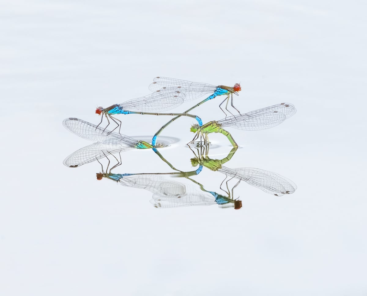 Mating red-eyed damselflies