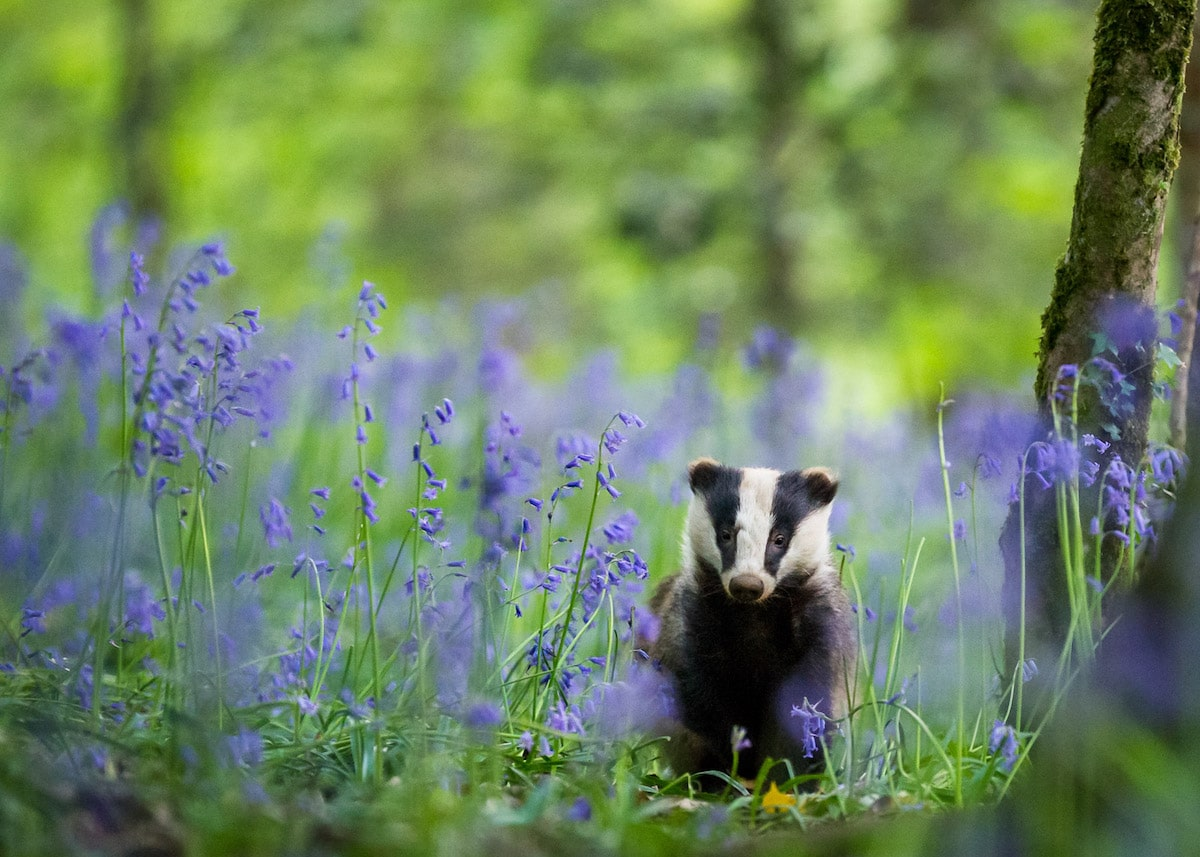 Badger Surrounded by Bluebells