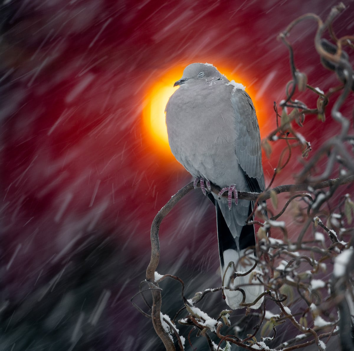Collared Dove with Light Halo