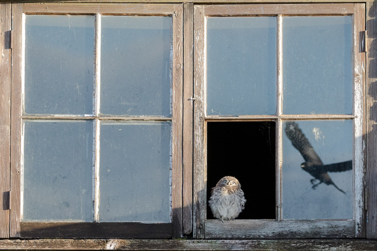 Baby Owl Perched in Open Window