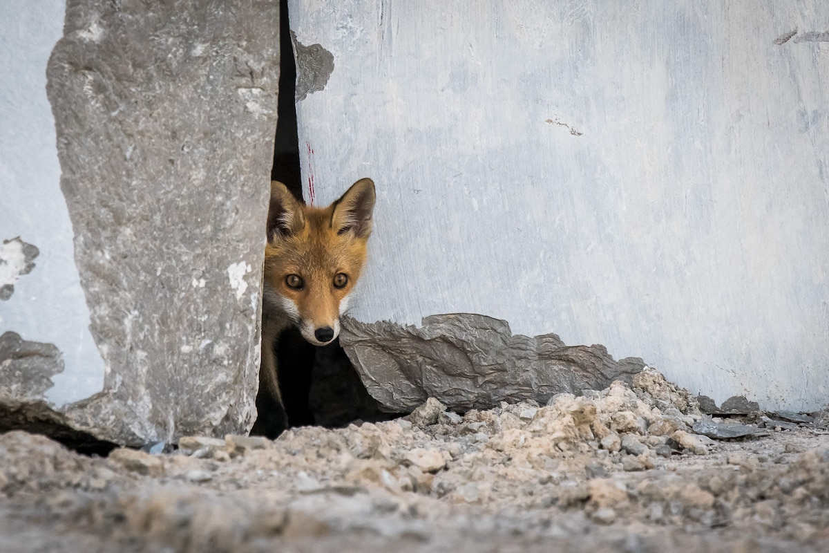 Fox Peeking Out of Door in a Quarry