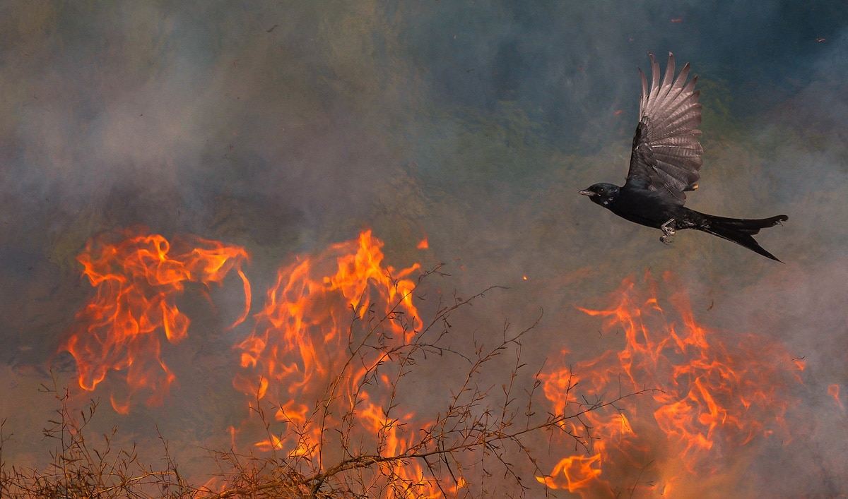 Black Drongo Flying Near Wildfire